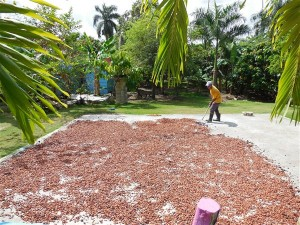 dr drying cacao beans